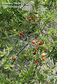 Diospyros sp., Persimmon  Click to see full-size image