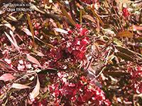 Dodonaea sp., Hopseed bush  Click to see full-size image