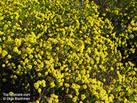 Euryops sp., Euryops  Click to see full-size image