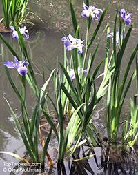 Iris sp. (Beardless irises), Beardless Irises, Water Irises  Click to see full-size image