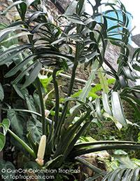 Monstera aureopinnata, Regal Ceriman  Click to see full-size image