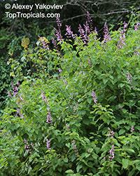 Ocimum labiatum, Pink Sage Bush, Shell Bush  Click to see full-size image