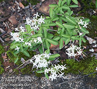 Pavetta sp., Christmas bush  Click to see full-size image