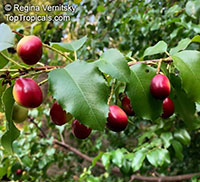 Prunus ilicifolia, Hollyleaf Cherry, Evergreen Cherry  Click to see full-size image