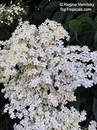Sambucus sp., Elder  Click to see full-size image