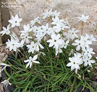 Ipheion uniflorum, Tristagma uniflorum, Spring Star  Click to see full-size image