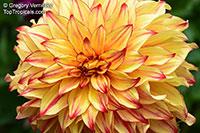Dahlia sp., Dahlia  Click to see full-size image