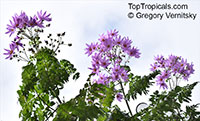 Dahlia imperialis, Bell Tree Dahlia  Click to see full-size image