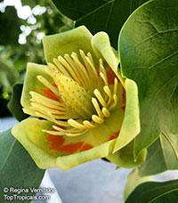 Liriodendron tulipifera, Tulip tree, Yellow Poplar, Tulip Magnolia, Whitewood  Click to see full-size image