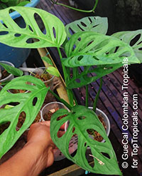 Monstera adansonii, Monstera friedrichsthalii, Swiss Cheese Plant  Click to see full-size image