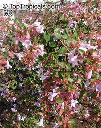 Abelia sp., Abelia  Click to see full-size image