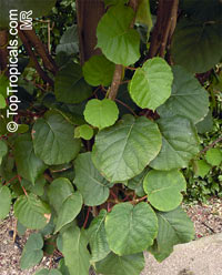 Actinidia chinensis, Kiwi Fruit  Click to see full-size image