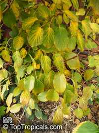 Actinidia sp., Actinidia  Click to see full-size image