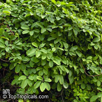 Akebia quinata, Chocolate Vine, Five-leaf Akebia
