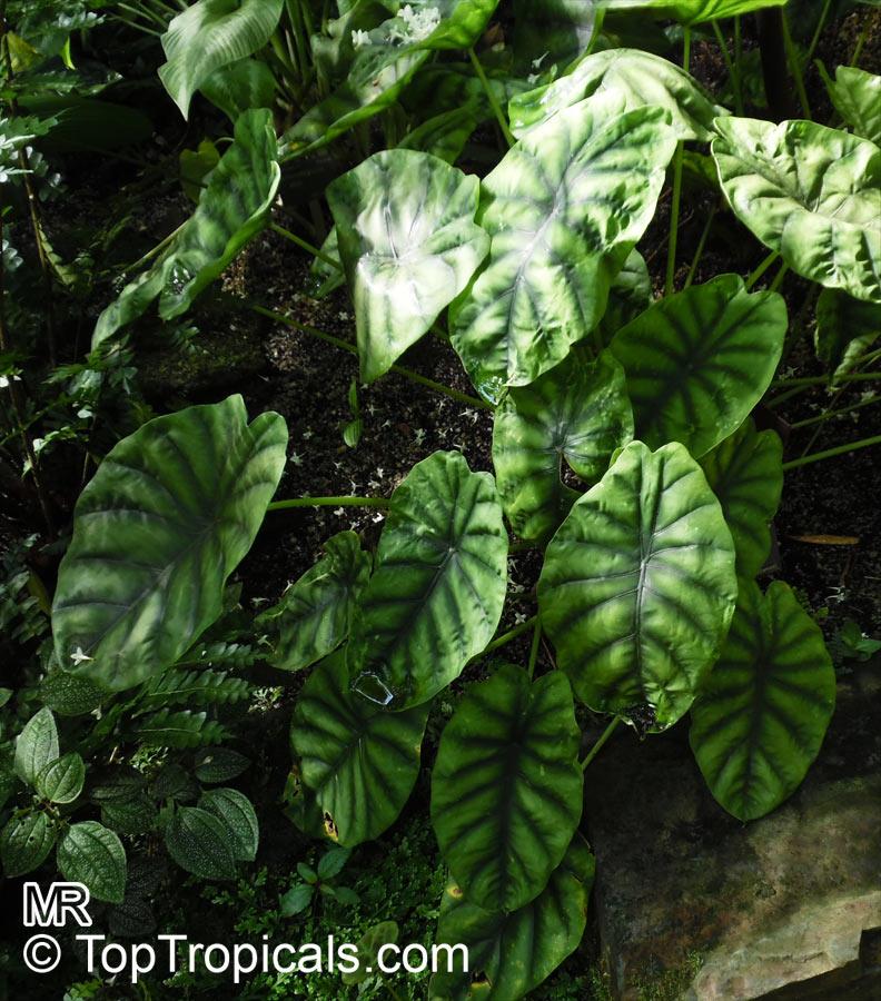 Garden Bush: Alocasia Clypeolata, Green Shield Alocasia
