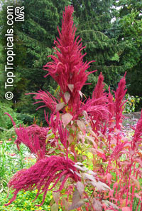 Amaranthus sp., Amaranth  Click to see full-size image