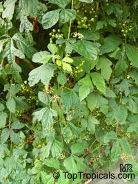 Ampelopsis sp., False Grape, Porcelain BerryClick to see full-size image