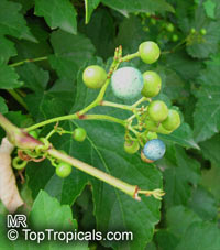 Ampelopsis sp., False Grape, Porcelain Berry