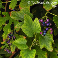 Ampelopsis sp., False Grape, Porcelain Berry  Click to see full-size image