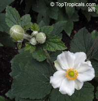 Anemone sp., WindflowerClick to see full-size image