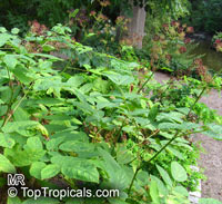 Aralia cordata, Japanese Spikenard  Click to see full-size image