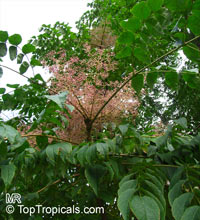Aralia elata, Japanese Angelica Tree