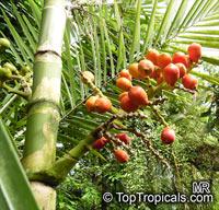 Areca novohibernica, Kugumaru Palm  Click to see full-size image