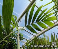 Areca novohibernica, Kugumaru PalmClick to see full-size image