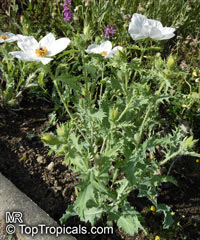 Argemone sp., Prickly Poppy  Click to see full-size image