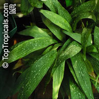 Aspidistra elatior variegata - Milky Way, Cast Iron Plant