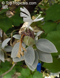Barleria albostellata, Grey Barleria  Click to see full-size image