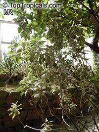 Barleria albostellata, Grey BarleriaClick to see full-size image