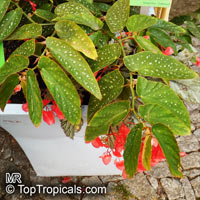 Begonia x albopicta, Bambusiforme Begonia, Cane Stemmed Begonia  Click to see full-size image