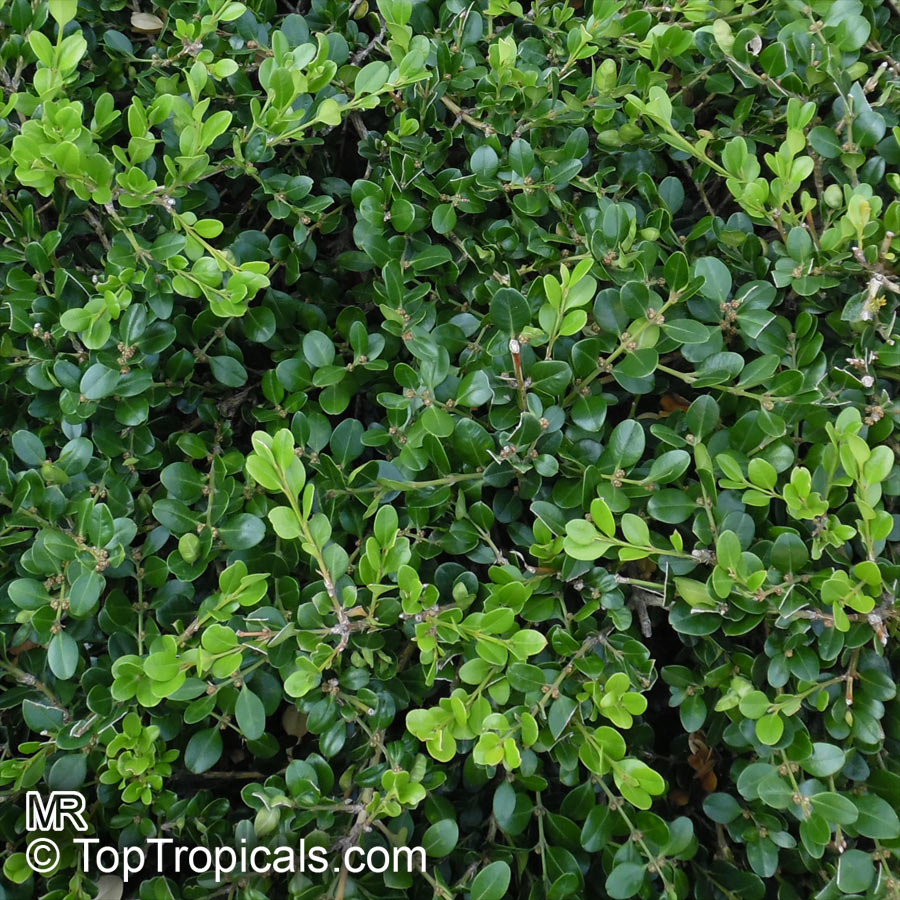 buxus microphylla littleleaf boxwood smallleaved