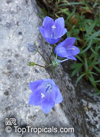 Campanula sp., Bellflower  Click to see full-size image