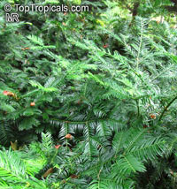 Cephalotaxus fortunei, Chinese Plum Yew, Chinese Cowtail Pine  Click to see full-size image
