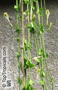Ceropegia sandersonii, Parachute Plant, Umbrella Flower  Click to see full-size image