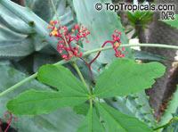 Cissus tweediana, Cissus  Click to see full-size image
