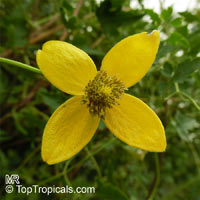Clematis tangutica, Golden Clematis, Russian Virgin's BowerClick to see full-size image