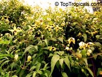 Clematis tangutica, Golden Clematis, Russian Virgin's Bower  Click to see full-size image