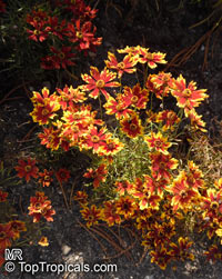 Coreopsis sp., Tickseed  Click to see full-size image