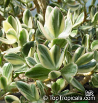 Crassula ovata, Crassula argentea, Crassula portulacea, Crassula obliqua, Jade Plant, Dollar Plant, Money Tree  Click to see full-size image