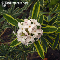 Daphne sp., Winter Daphne  Click to see full-size image