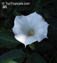 Datura innoxia, Datura meteloides, Thorn Apple, Moonflower, Toloache, Jimson Weed, Angel's Trumpet, Stinkweed, Pricklyburr  Click to see full-size image