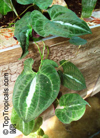 Dioscorea sp., Yam