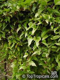 Dioscorea polystachya, Dioscorea batatas, Chinese Yam, Cinnamon-vine  Click to see full-size image