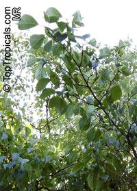 Eucommia ulmoides, Eucommia, Hardy Rubber Tree Click to see full-size image