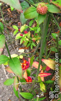 Euonymus sp., Euonymus  Click to see full-size image
