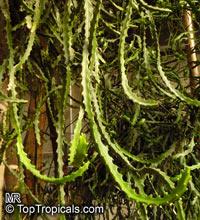 Euphorbia grandidens, Euphorbia arborescens, Valleybush Euphorbia, Chandelier Euphorbia, Large-toothed Euphorbia  Click to see full-size image