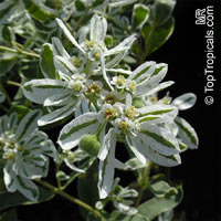 Euphorbia marginata, Snow-on-the-mountain, Smoke-on-the-prairie, Variegated Spurge, Mountain Spurge  Click to see full-size image